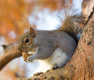 A squirrel eating acorns in a tree
