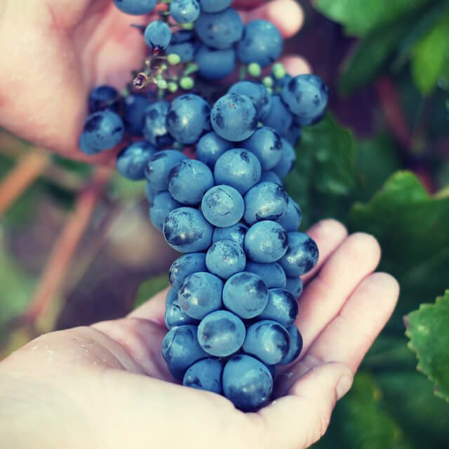 Hands hold grapes after picking