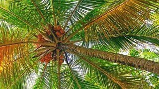 Coconut tree photographed from upside-down