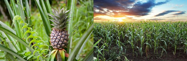 Pineapple growing wild vs. monocropped cornfield