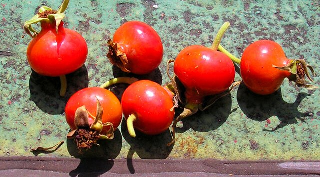 Six picked rosehips are photographed