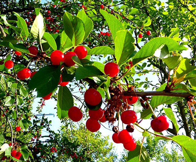 Bright red cherries hang from a tree