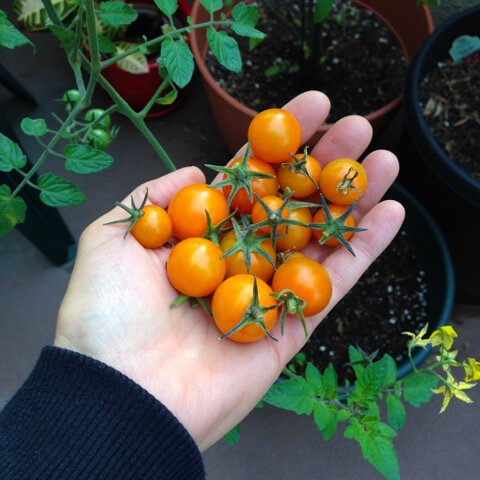 Cherry tomatoes grown in Alicia Grant's garden